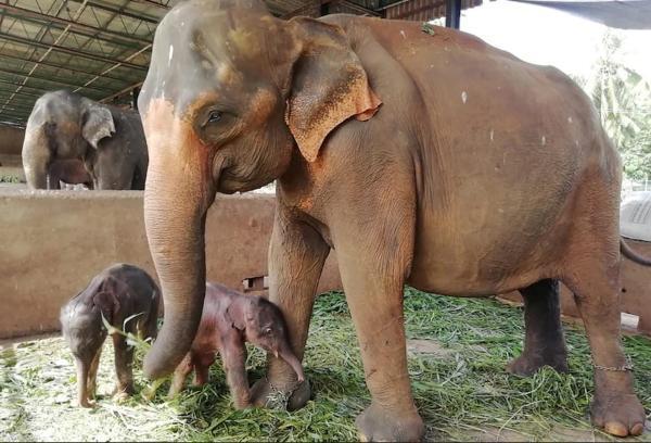 فیل زندانی دوقلو به جهان آورد
